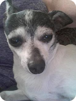 Chihuahua Dog for adoption in Little Rock, Arkansas - Pookie & Susie