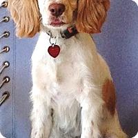 Adopt A Pet :: Brooke - Santa Barbara, CA