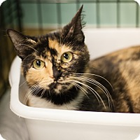 Adopt A Pet :: Kitty Girl - Dallas, TX
