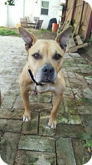 American Pit Bull Terrier Mix Dog for adoption in Newark, Delaware - Lulu