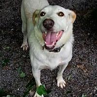 Labrador Retriever/Shepherd (Unknown Type) Mix Dog for adoption in Blacksburg, South Carolina - Dyno