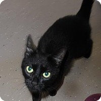 Domestic Shorthair Cat for adoption in Waupaca, Wisconsin - Schizzie