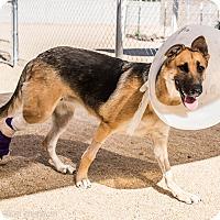 German Shepherd Dog Mix Puppy for adoption in Phoenix, Arizona - Phoebe