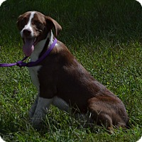 Adopt A Pet :: Winston - Lebanon, MO