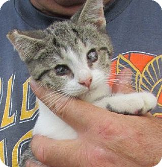Domestic Shorthair Kitten for adoption in Germantown, Maryland - Cloudy