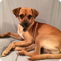 Pug/Terrier (Unknown Type, Small) Mix Dog for adoption in Homewood, Alabama - Baxter