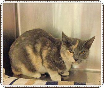 Domestic Shorthair Cat for adoption in Marietta, Georgia - LAUREL