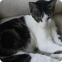 Adopt A Pet :: Savyy - Miami, FL