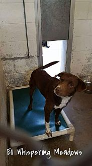Australian Shepherd/Labrador Retriever Mix Dog for adoption in Staunton, Virginia - Bullwinkle