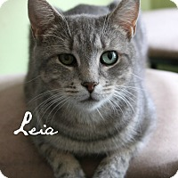 Domestic Shorthair Cat for adoption in McKinney, Texas - Leia