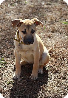 American Bulldog/Labrador Retriever Mix Puppy for adoption in Hayes, Virginia - Prisma aka Little Bit