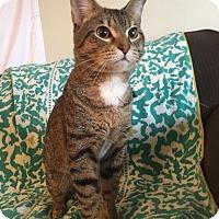 Adopt A Pet :: Nutter Butter - Addison, IL