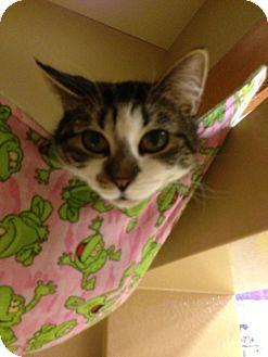 Domestic Shorthair Cat for adoption in Monroe, Georgia - Sora