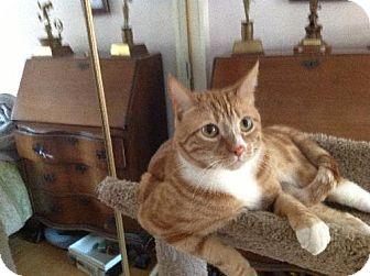 American Shorthair Cat for adoption in Burbank, California - Tucker