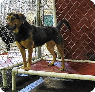 German Shepherd Dog Mix Dog for adoption in Jackson, Mississippi - Mea