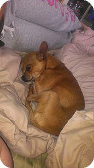 Chihuahua Dog for adoption in Wasilla, Alaska - Roscoe