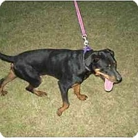 Rottweiler/Great Dane Mix Dog for adoption in Kaufman, Texas - Electra