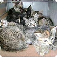 Adopt A Pet :: Several Tiger Kittens - Westfield, MA