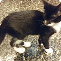 Adopt A Pet :: Bear - Fairborn, OH