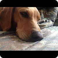 Adopt A Pet :: Dixie - Albemarle, NC
