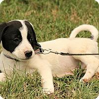 Adopt A Pet :: Dooley - Brattleboro, VT