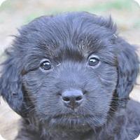 Adopt A Pet :: Teddy - Tumwater, WA