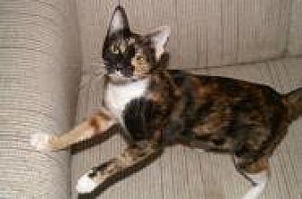 Domestic Shorthair Cat for adoption in Sarasota, Florida - Guenevere