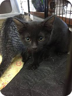 Domestic Shorthair Kitten for adoption in Middletown, Ohio - Camile