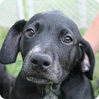 Adopt A Pet :: Alfalfa - Huntsville, AL