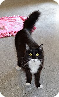 Domestic Longhair Cat for adoption in Michigan City, Indiana - Anri