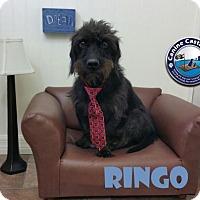 Adopt A Pet :: Ringo - Arcadia, FL