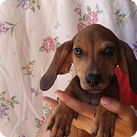 Adopt A Pet :: Boe - Oviedo, FL