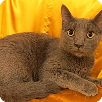 Russian Blue Cat for adoption in St. Louis, Missouri - Jazzy (Russian Blue Mix)