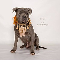 Adopt A Pet :: Einstein - Riverside, CA