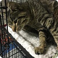 Adopt A Pet :: Tiger - Holland, MI