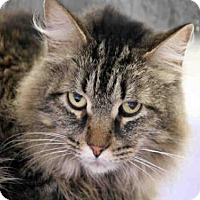 Maine Coon Cat for adoption in Plano, Texas - LEO