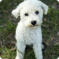 Maltese/Poodle (Miniature) Mix Dog for adoption in Alvin, Texas - Paisley--- Fun litle fluff---N
