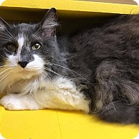 Domestic Longhair Cat for adoption in Maryville, Missouri - Pennywise