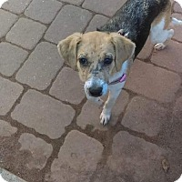 Adopt A Pet :: Greta Sweet Beagle - New Hartford, NY