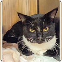 Domestic Shorthair Cat for adoption in Marietta, Georgia - OREO