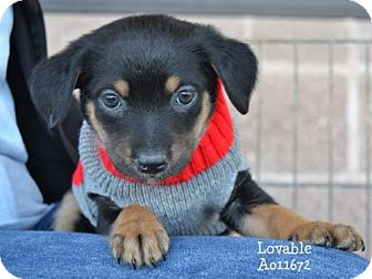 Cairn Terrier Mix Puppy for adoption in Conroe, Texas - Lovable
