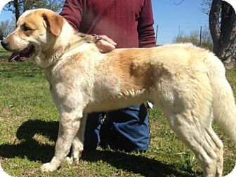 Great Pyrenees/Australian Cattle Dog Mix Dog for adoption in Staunton, Virginia - Buddy Hargrave