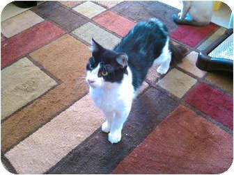 Maine Coon Cat for adoption in Laguna Woods, California - Tux (Tuxedo)