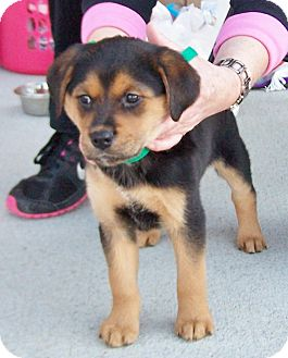 Rottweiler/Golden Retriever Mix Puppy for adoption in Greensboro, Georgia - Baby Girl