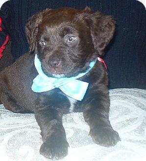 Rottweiler Mix Puppy for adoption in Largo, Florida - Atlas