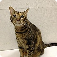 Domestic Shorthair Cat for adoption in St. James City, Florida - Boo