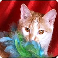 Domestic Shorthair Cat for adoption in Nashville, Tennessee - Bunny