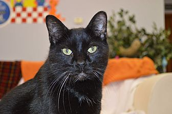 Domestic Shorthair Cat for adoption in House Springs, Missouri - Summer