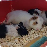 Adopt A Pet :: Hikari - Fullerton, CA