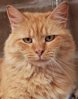 Domestic Mediumhair Cat for adoption in Savannah, Missouri - Daisy